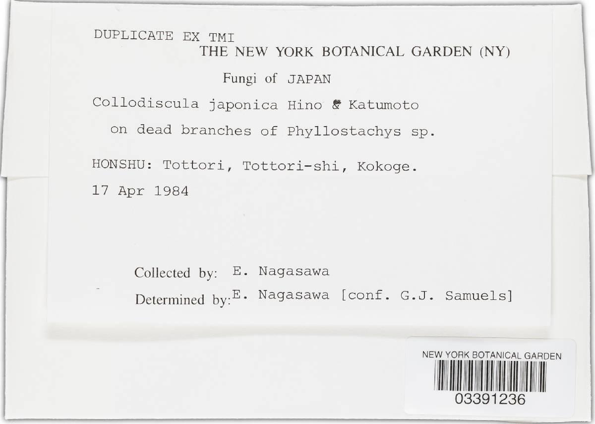 Collodiscula japonica image