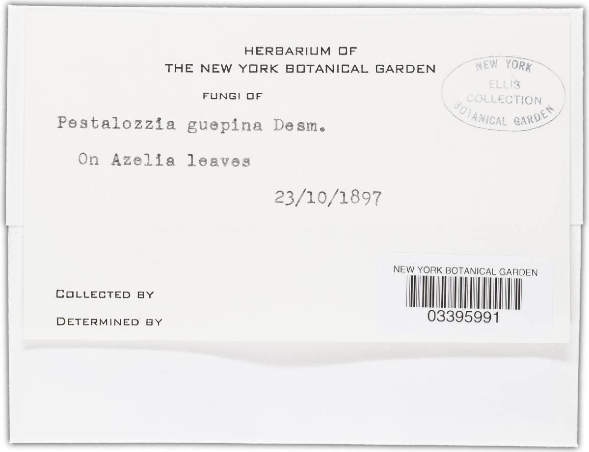 Pestalotiopsis disseminata image