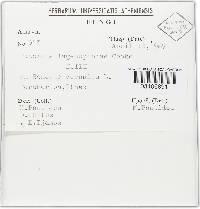 Puccinia lagenophorae image