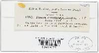 Gorgoniceps dinemasporioides image
