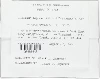Helotium amplum image