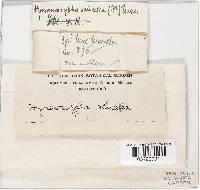Hymenoscyphus salicellus image