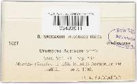 Uromyces acetosae image