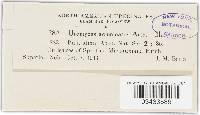 Uromyces acuminatus image