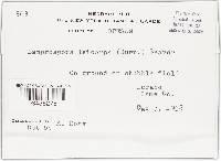 Lamprospora leiocarpa image