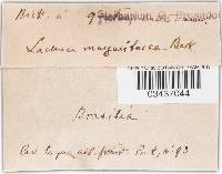 Image of Lachnea margaritacea