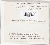 Image of Fusidium hysteriiforme