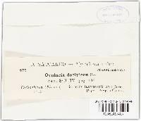 Ovularia decipiens image