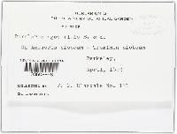 Ramularia agoseridis image