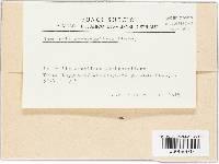 Ramularia archangelicae image