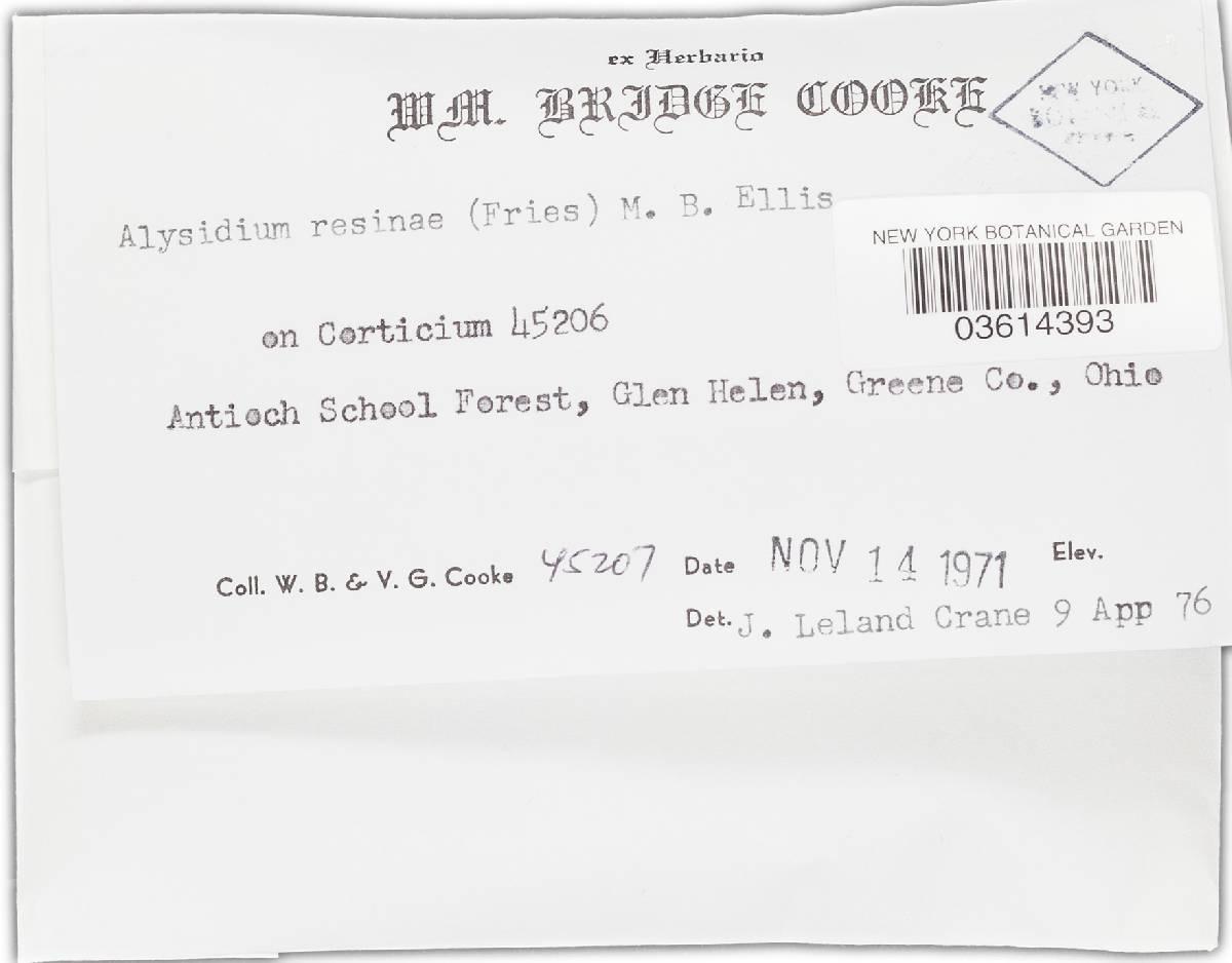 Alysidium resinae image