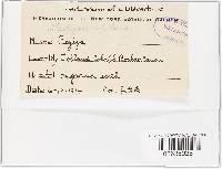 Tarzetta cupularis image