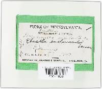 Gyromitra fastigiata image