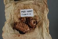 Image of Cordyceps kirkii