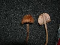 Laccaria ohiensis image