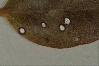 Pseudocercospora metrosideri image