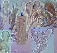 Tricholomopsis scabra image