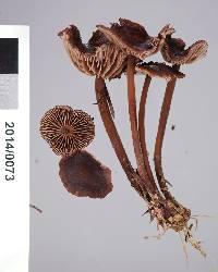 Gymnopus villosipes image