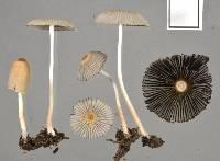 Parasola leiocephala image