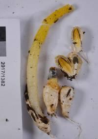 Mutinus borneensis image