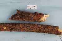 Image of Hymenochaete plurimaesetae