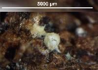 Image of Flagelloscypha aotearoa