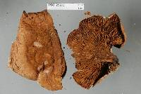 Austropaxillus nothofagi image
