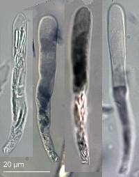 Russula papakaiensis image