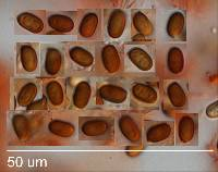 Agaricus horakii image