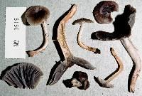Image of Camarophyllus griseorufescens