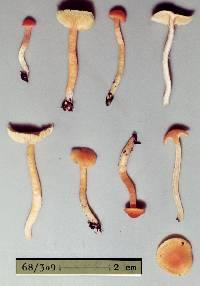 Image of Camarophyllus aurantiopallens