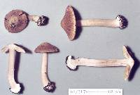 Image of Astrosporina graveolens