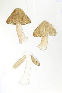 Image of Astrosporina avellana
