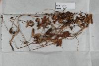 Image of Urocystis novae-zelandiae