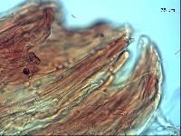 Tricholomopsis ornaticeps image