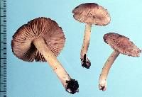 Image of Astrosporina aequalis