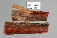 Image of Peristomialis corynospora