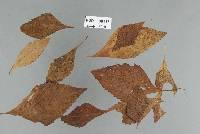 Image of Meliola ocimincola