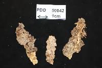 Image of Bionectria grammicosporopsis