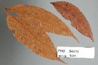 Phyllachora stena image