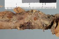 Nectria rubi image