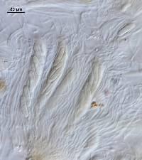 Propolis farinosa image