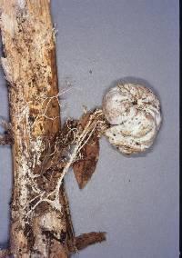 Protubera hautuensis image