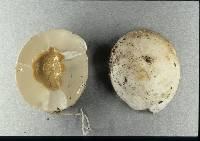 Image of Protubera canescens