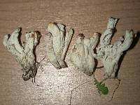 Clavulina rugosa image