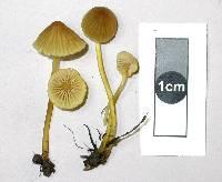 Mycena citrinomarginata image