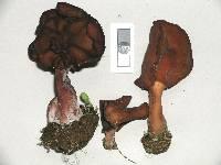 Gyromitra infula image