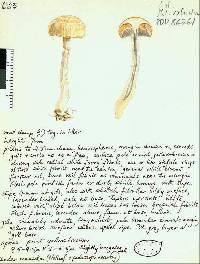 Image of Cortinarius fallax