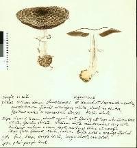 Image of Agaricus horakii