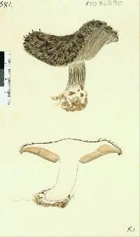 Image of Lepista fibrosissima